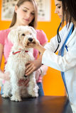 Veterinarian listens sick dog with stethoscope Royalty Free Stock Image