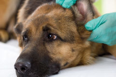 Veterinarian looking ear of a German shepherd dog,close up Stock Images