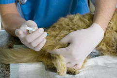 Veterinarian makes the injection