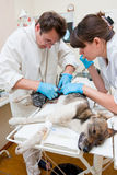 The veterinarian makes surgery Royalty Free Stock Photography