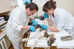 The veterinarian makes surgery Royalty Free Stock Photos