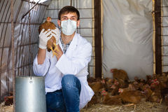 Veterinarian in mask holding chicken. Male professional veterinarian in white coat and mask holding brown chicken in hands on farm Royalty Free Stock Images