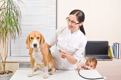 Veterinarian measures  temperature of dog Stock Images