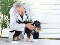 Veterinarian with miniature schnauzer Royalty Free Stock Photos