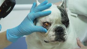 Veterinarian ophthalmologist examining eyes of dog. Veterinarian checks the eyes of a dog. Veterinarian ophthalmologist doing medical procedure, examining the Royalty Free Stock Image
