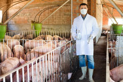 Veterinarian in pigsty. Portrait of male veterinarian in the white coat and facial mask with syringe and vial in a pigsty Stock Photography