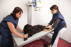Veterinarian preparing dog for x-ray Royalty Free Stock Image