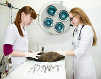 Veterinarian provides medical care to the sick cat Royalty Free Stock Photos