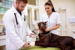 Veterinarian putting bandage on dog sick leg Royalty Free Stock Images