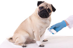 Veterinarian putting bandage on injured paw of dog Royalty Free Stock Image