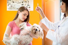 Veterinarian reading x ray of maltese dog. Girl holding sick maltese dog while veterinarian reading x ray of maltese dog Stock Photography