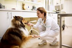 Veterinarian relax patient before treatment at pet ambulance. Veterinarian relax dog patient before treatment at pet ambulance Royalty Free Stock Images