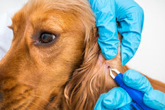 Veterinarian removing a tick from the Cocker Spaniel dog. Veterinarian doctor removing a tick from the Cocker Spaniel dog - animal and pet veterinary care Stock Photos