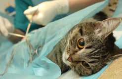 Veterinarian's office, surgical operation of cat. Royalty Free Stock Photos