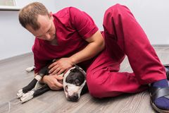 The veterinarian sets the drip, catheter the dog stock photos
