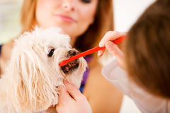Veterinarian: Showing Owner How to Brush Dog Teeth. Series set in a Veterinarian's office, with a dog, cat, rabbit and a Caucasian veterinarian and customer Stock Image