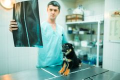 Veterinarian specialist looks at x-ray of the dog. Veterinarian specialist looks at the x-ray of the dog, veterinary clinic. Vet doctor, treatment a sick dog royalty free stock image
