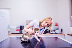 Veterinarian with stethoscope examining cat with sore stomach. Young blond woman in white uniform working at Veterinary clinic Stock Photos