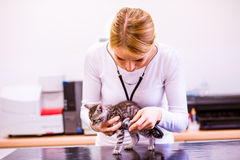 Veterinarian with stethoscope examining cat with sore stomach. Young blond woman in white uniform working at Veterinary clinic Royalty Free Stock Image