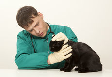 Veterinarian surgeon doctor and cat. Veterinarian surgeon doctor making a checkup of a black cat Royalty Free Stock Image