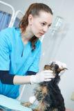Veterinarian surgeon examining dog Royalty Free Stock Photo