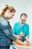 Veterinarian surgeon examining dog. Male veterinarian surgeon worker treating examining west highland white terrier dog in veterinary surgery clinic Royalty Free Stock Photography