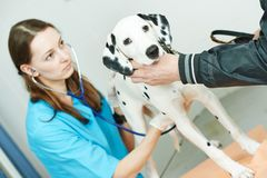 Veterinarian surgeon treating dog Royalty Free Stock Image