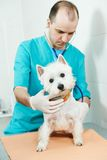 Veterinarian surgeon treating dog. Male veterinarian surgeon worker treating examining west highland white terrier dog in veterinary surgery clinic Stock Image