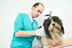 Veterinarian surgeon treating dog. Male veterinarian surgeon worker treating examining west highland white terrier dog in veterinary surgery clinic Royalty Free Stock Image