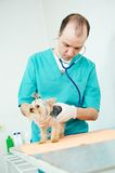 Veterinarian surgeon treating dog. Male veterinarian surgeon worker treating examining west highland white terrier dog in veterinary surgery clinic Stock Photography