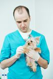 Veterinarian surgeon treating dog. Male veterinarian surgeon worker treating examining west terrier dog in veterinary surgery clinic Royalty Free Stock Image