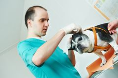 Veterinarian surgeon treating dog. Male veterinarian surgeon worker treating examining west terrier dog in veterinary surgery clinic Stock Image