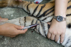 Veterinarian treat the tiger Stock Photos