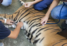 Veterinarian treat the tiger Stock Photography