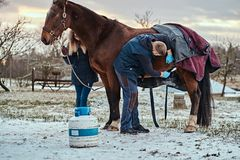 A veterinarian treating a brown purebred horse, papillomas removal procedure using cryodestruction, in an outdoor ranch. Veterinarian treating a brown purebred stock images