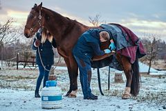 A veterinarian treating a brown purebred horse, papillomas removal procedure using cryodestruction, in an outdoor ranch. Veterinarian treating a brown purebred stock image