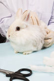 Veterinarian in treating rabbits during scanning. Withe bunny at the doctors on the table Stock Photography