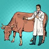 Veterinarian treats a cow farm animal medicine Royalty Free Stock Photography