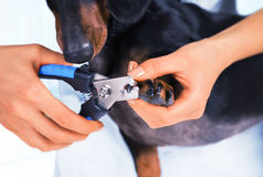 Veterinarian is trimming dog nails Royalty Free Stock Photos