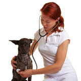 Veterinarian using stethoscope on Stock Image