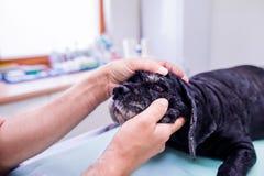 Veterinarian at veteringary clinic examining dog with sore eye. Veterinarian examining black dog with sore eye. Young blond woman working at Veterinary clinic Stock Image