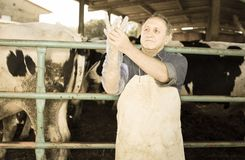 Veterinarian wears long glove to inspect cows royalty free stock image