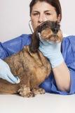 Veterinarian woman with Dog Stock Photos