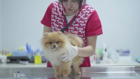 Veterinarian woman with stethoscope examining dog in veterinary clinic. Animal treatment. Veterinarian woman with stethoscope examining dog in veterinary clinic stock footage
