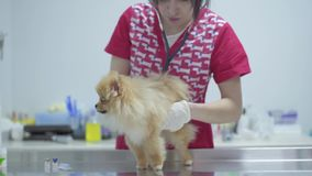 Veterinarian woman with stethoscope examining dog in veterinary clinic. Animal treatment. Veterinarian woman with stethoscope examining dog in veterinary clinic stock video footage