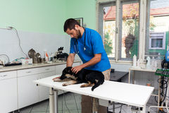 Veterinarian at work. Young male veterinarian at work taking care of injured homeless dog Stock Images
