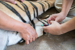 Veterinarian and zookeeper getting blood drawn. From the tiger royalty free stock images