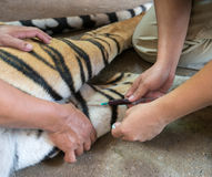 Veterinarian and zookeeper getting blood drawn. From the tiger royalty free stock photo