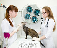 Veterinarians examines a cat in the office Royalty Free Stock Photos