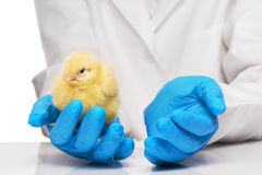 Veterinarians hands in blue gloves holding small yellow chicken. Close up of veterinarians hands in blue sterilized surgical gloves holding small yellow chicken royalty free stock photo